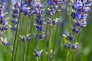 Lavandin Hybrid Lavendel